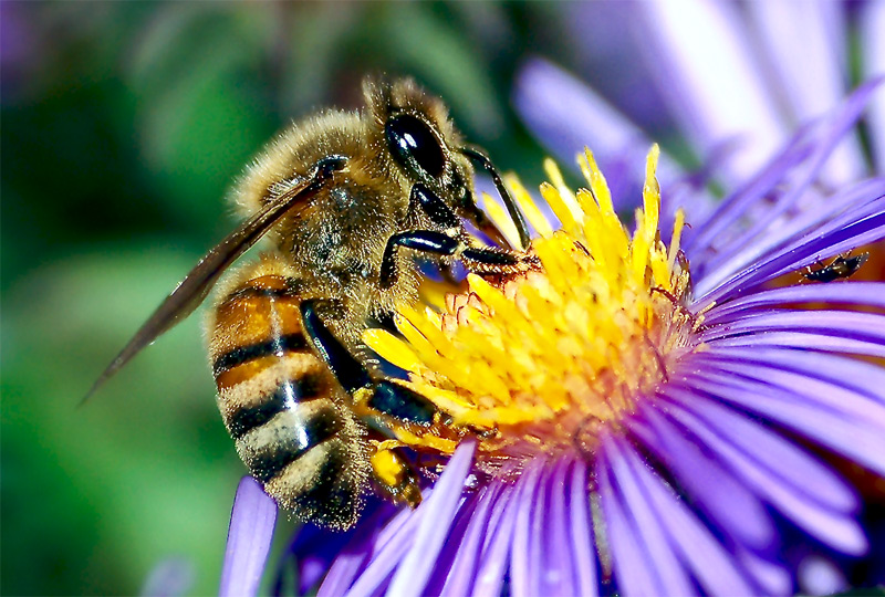 Tell Ace Hardware Stop Selling Bee Killing Pesticides