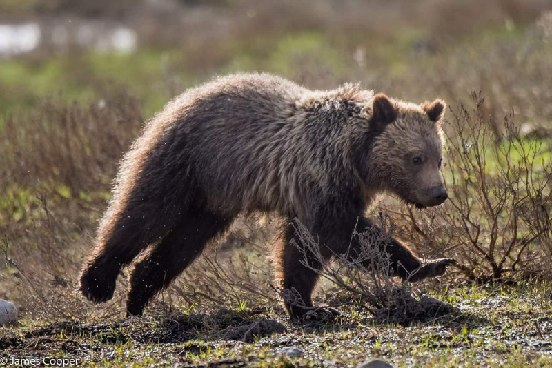 Give Endangered grizzlies a fighting chance for recovery! — AddUp.org