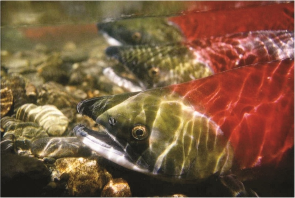 Restore Wild Salmon To The Columbia And Snake Rivers! — AddUp.org