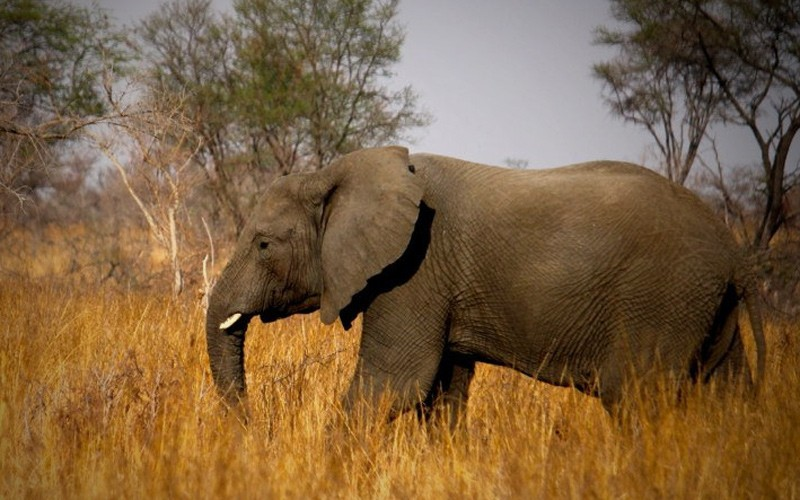 Save African Elephants From Trophy Hunters