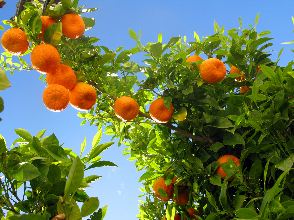 Prevent the Reckless Use of Antibiotics on Citrus Plants — AddUp.org
