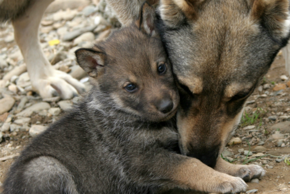 Stop Congressional attacks on gray wolves — AddUp.org